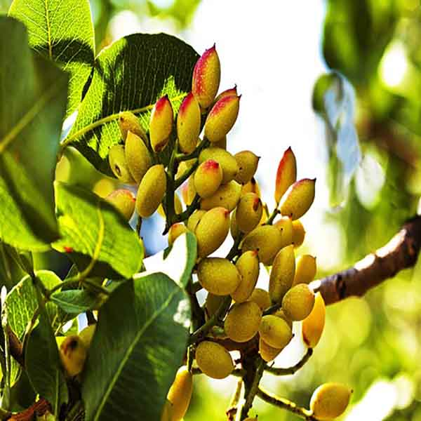 nuts bazaar wholesale price pistachio nutskala kernelo