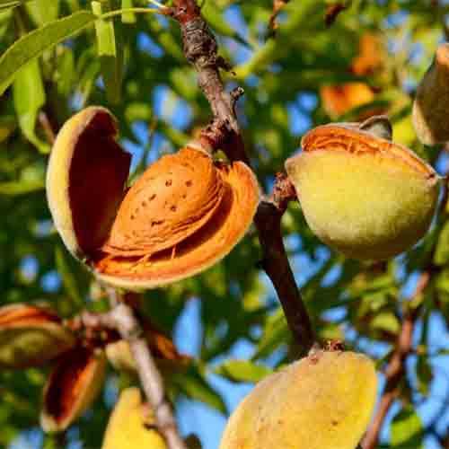 nuts bazaar almond wholesale kernelo nutskala price