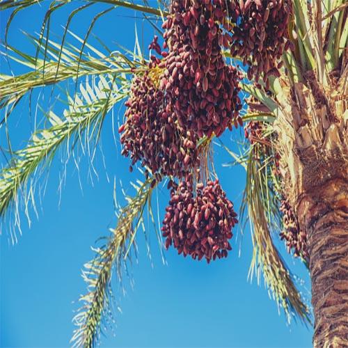 nuts bazaar dates wholesale kernelo nutskala price