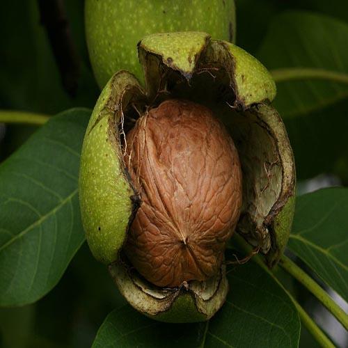 nuts bazaar walnut wholesale kernelo nutskala price