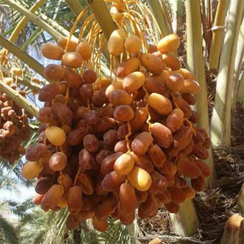benefit Kernelo dates bazaar nuts nutskala wholesale medjool price california