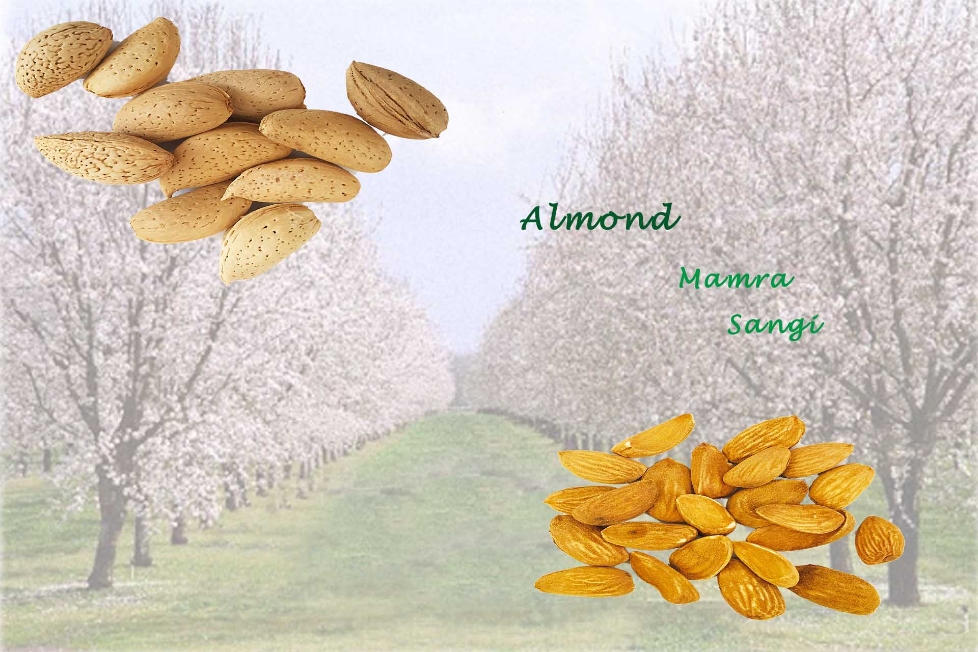 Almond mamra nuts dried fruit wholesale price bulk buy date piarom zahidi rabbi maryami ajwa medhool mazafati saffron almond pistachio bazaar kala kernelo